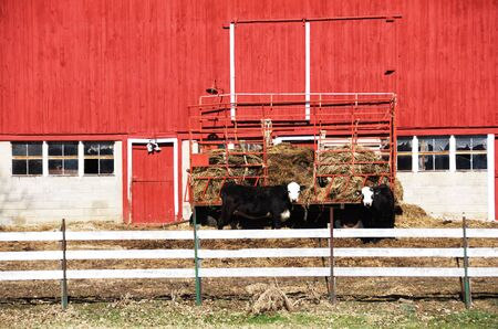 barn black and white: Black Cows with White Faces by Red Barn Stock Photo