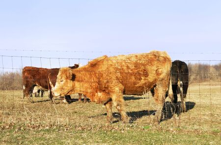 cattle wire wires: Brown Cow with Curly Fur