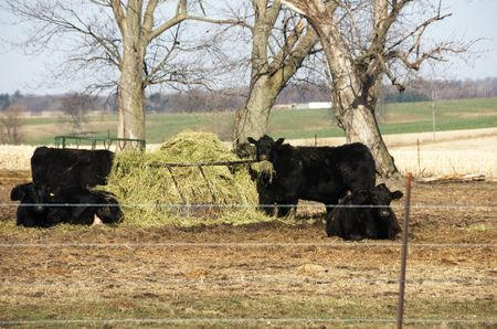 black angus cattle: Black Angus Cattle Eating Hay Stock Photo