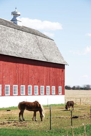 burro: Red Barn Behind Palomino and Burro Grazing Stock Photo