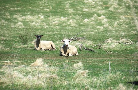 Two Sheep Lying Down