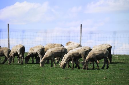 wire mesh: Sheep Grazing on a Hill