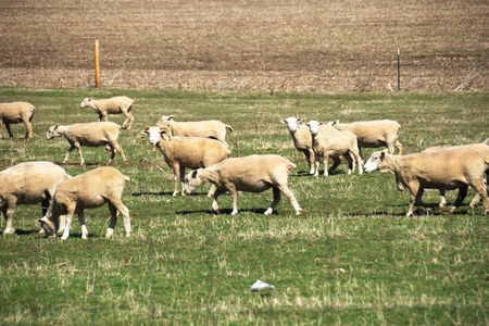 Recently Shorn Sheep Stok Fotoğraf - 5193262