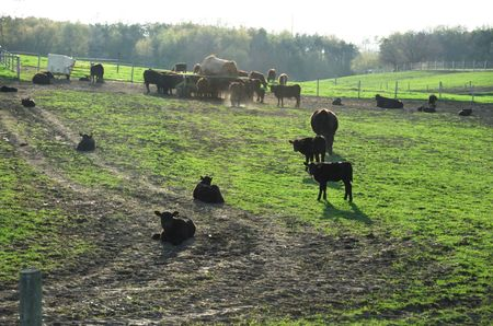 Black Angus Cattle on the Hill at Sunset photo