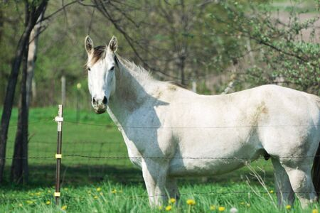 Big White Horse in Spring Pasture Stock Photo - 5327237