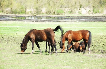 Brown Horses Grazing, One REsting