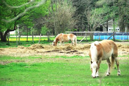 Two Palominos Grazing by Swimming Pool Stock Photo - 5327325
