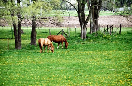 Two Horses Grazing in Spring Pasture photo