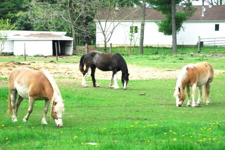 Three Horses Grazing by Farmhouse photo