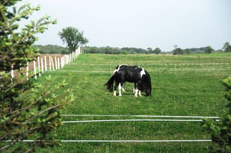 Two Black and White Pinto Horses Grazing photo