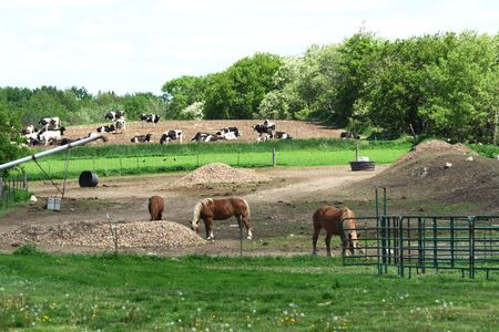Horses and Holstein Cows (horizontal) photo