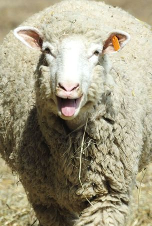 bah: What Does the Sheep Say? Stock Photo