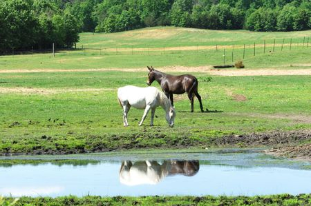 Horse and Mule with Reflection photo