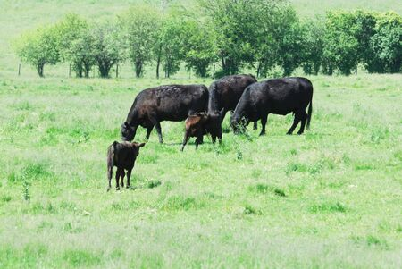 black angus cattle: Black Cows Grazing Stock Photo