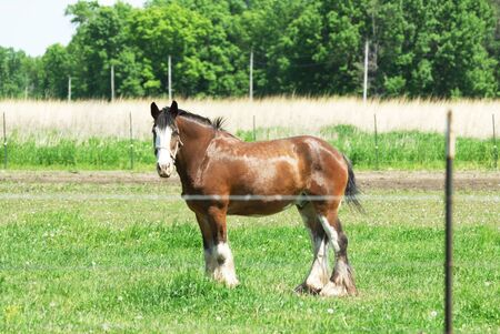 clydesdale: Big Brown Horse in Green Pasture Stock Photo