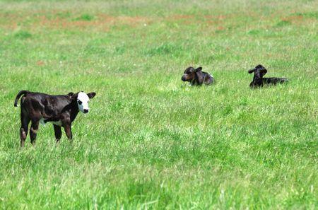 Three Black Calves in Green Pasture photo