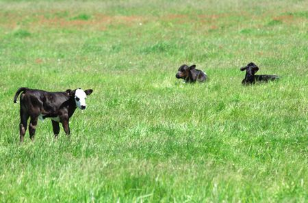 black angus cattle: Three Black Calves in Green Pasture