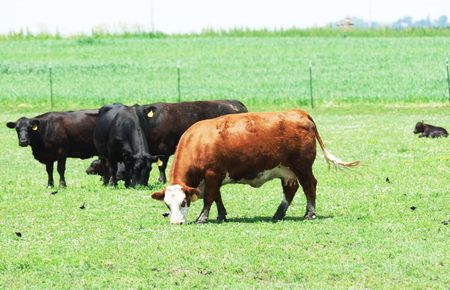 cattle wire wire: Cattle Grazing