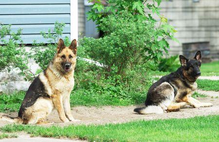 Two German Shepherd Dogs photo