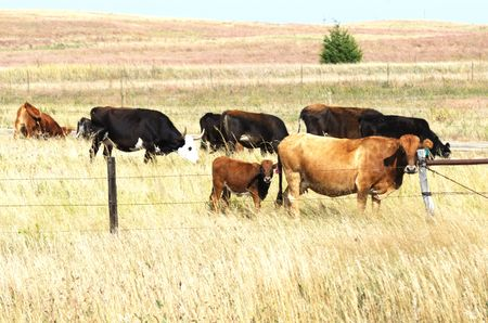 cattle wire wires: Cows Grazing in Dry Pasture Stock Photo