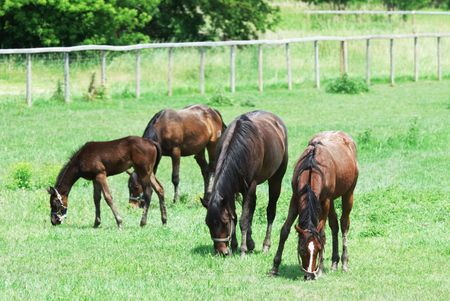 Four Brown Horses Grazing photo