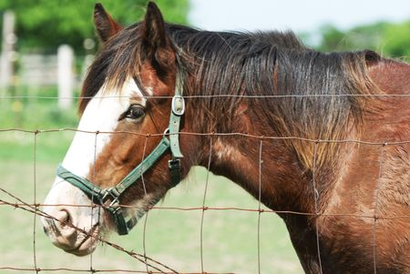 clydesdale: Brown Horse with Green Bridle