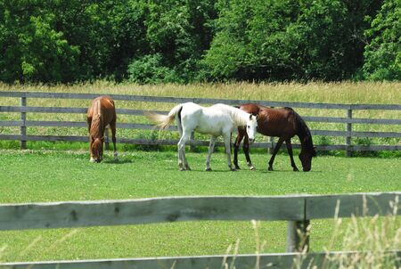 Three Horses Grazing photo
