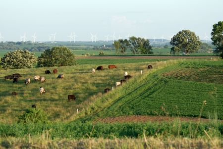 Cattle and Windmills photo