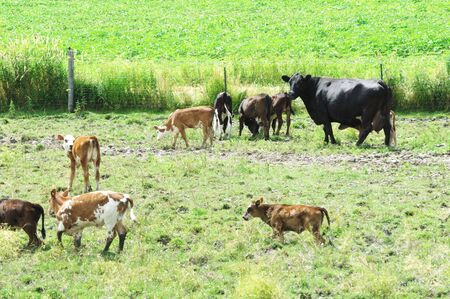 Big Cow with Herd of Calves photo