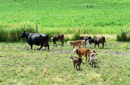 Big Cow and Herd of Calves photo