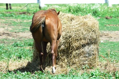 rear end: Horse Eating Hay