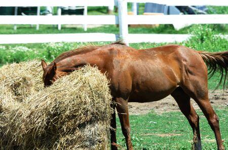 Bruin paard eten Hay Bale Stockfoto