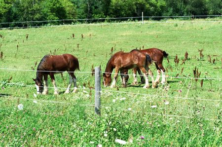 Three Clydesdales Grazing Together photo