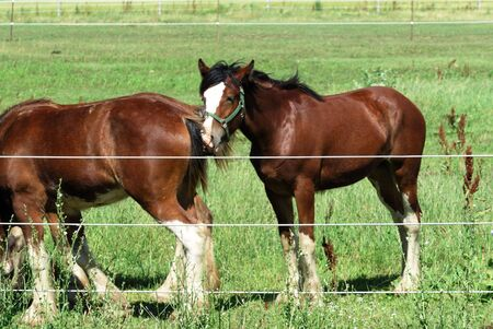 clydesdale: Young Clydesdale Stock Photo