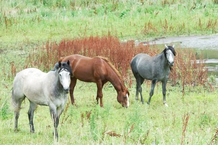 Two Gray Horses and a Brown One photo