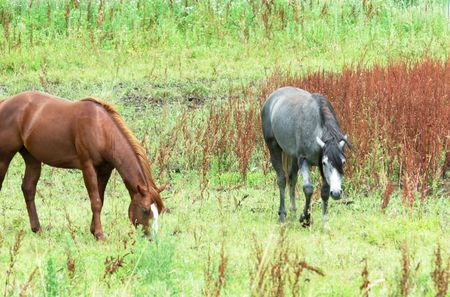 Brown Horse and a Gray photo