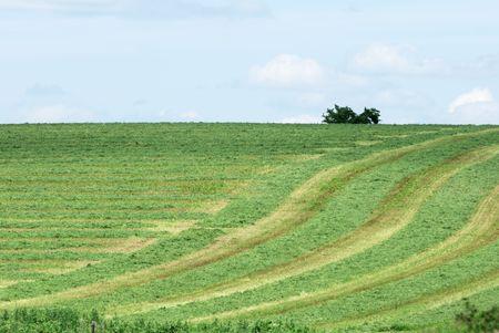 Rows of Cut Alfalfa