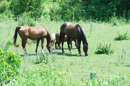 Brown Horses Grazing with Pony photo