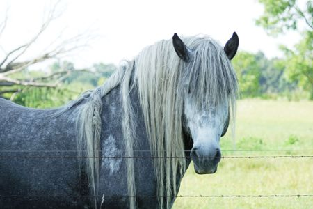 Gray Horse with Long Mane