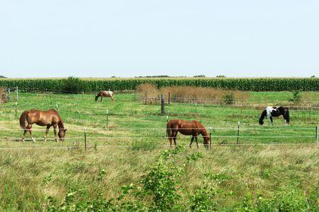 Herd of Horses Grazing Stock Photo - 6436640