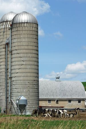 Cows by Two Silos Stock Photo - 6488552