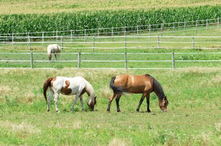 Three Horses Grazing by Cornfield photo