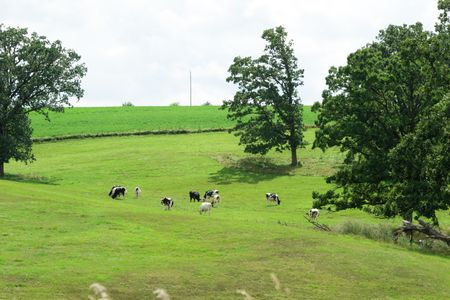 Cattle Grazing in the Meadow photo