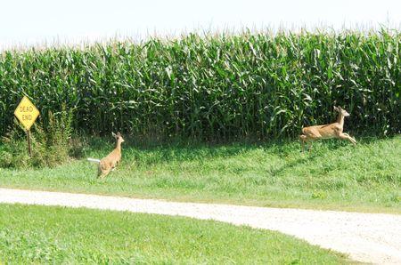 Two Deer Running Away photo