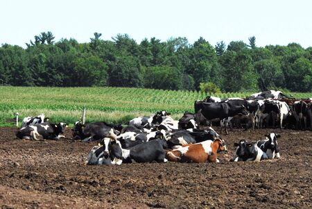 Dairy Cattle Resting photo