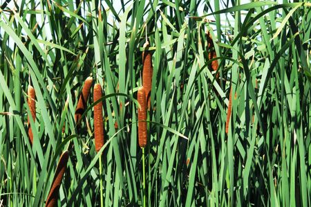 cattails: Cattails in the Rushes Stock Photo