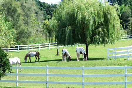 Horses Grazing by Weeping Willow Tree photo