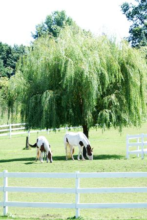 Horses by Weeping Willow Tree photo