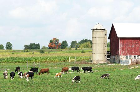 Cattle by the Red Barn Archivio Fotografico