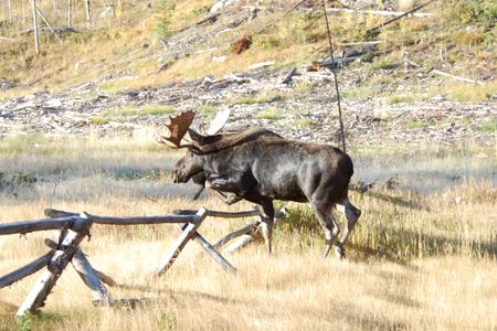 split rail: Moose Walking Over Fence